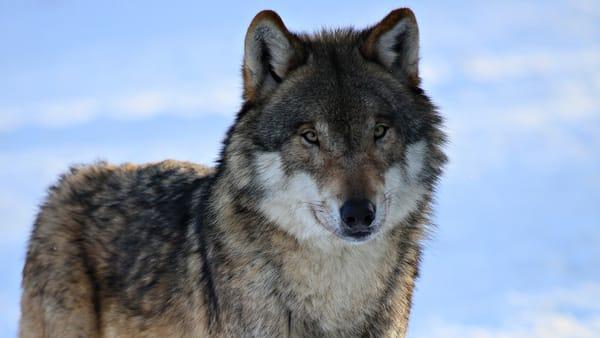 Волки красивые картинки на рабочий стол
