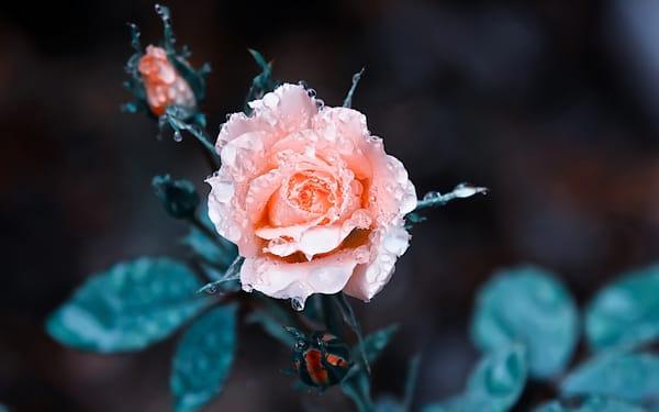 Картинки на рабочий стол телефона розы