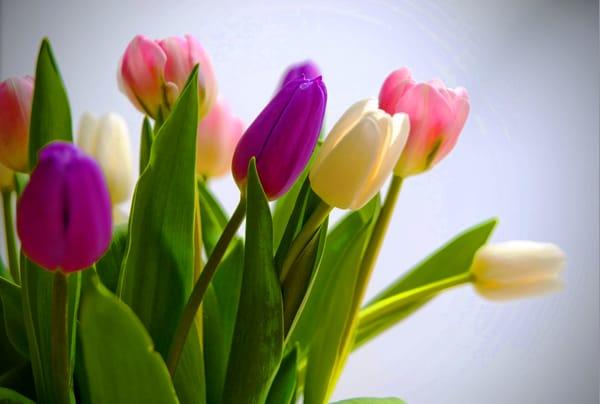 букет,тюльпаны,листья  № 415724 без смс