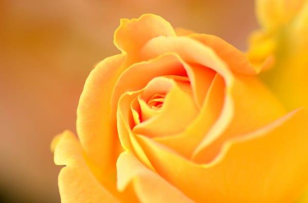Картинки по запросу fondos de pantalla rosas amarillas