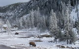 Обои для рабочего стола: Bison, animals, Yellowstone National Park, Montana, wildlife