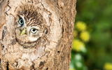 Обои: Little Owl, природа, птица