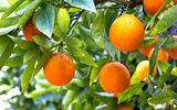 Обои: oranges, leaves, фрукты, fruits, апельсины