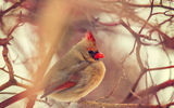 Обои: female, cardinal, canada, toronto, Кардинал, winter, bird