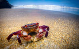 Обои: Краб, океан, море, пляж, purple shore crab, Hemigrapsus nudus
