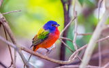 Обои для рабочего стола: Male Painted Bunting, Florida, Green Cay Wetlands