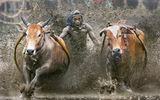 Обои: cow race, sport, Indonesia