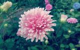 Обои: цветы, астра, flower, pink, nature, beautiful, aster