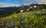 Обои: washington, summer wildflower season - skyline divide, mount baker area