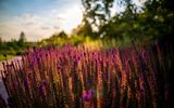 Обои: цветы, лето, summer, sunset, flowers, sun, природа, nature, закат, солнце