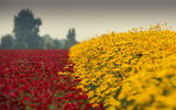 Обои: red, flower, yellow