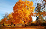 Обои: golden brown, autumn, tree