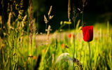 Обои: nature, spring, flower, red