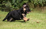 Обои: german shepherd, dog, puppy, pet