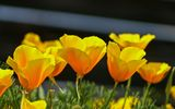 Картинки_для_телефона: Калифорнийский мак, Spring, Yellow poppies, Эшшольция, Весна