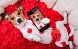 Обои: собака, funny, red, love, petals, rose, romantic, лепестки, phone, valentine, красная роза, dog