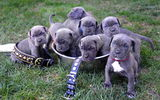 Обои: Neapolitan Mastiff, puppies, щенки