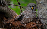 Обои: Great Gray Owl, сова, птицы, птенец