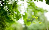 Обои: ветка, branch, nature, ginkgo, природа, листья, гинкго, tree, leaves, дерево