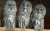 Обои: great grey owl, троица, бородатая неясыть, совы, lapland owl