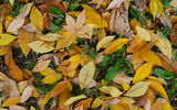 Обои: leaf, autumn, green, yellow