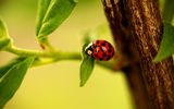 Обои: ветка, branch, насекомое, ladybug, божья коровка, leaves, ladybird, листья