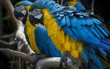 Картинки на телефон: parrot, Birds, couple