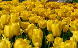 Картинки на телефон: tulips, field, yellow, цветы, желтые