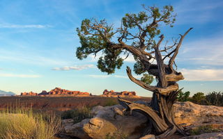 Картинка Ancient pine tree, Arches National Park, Utah