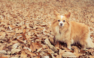 Обои dog, eyes, leaves, глаза, листья, Собака