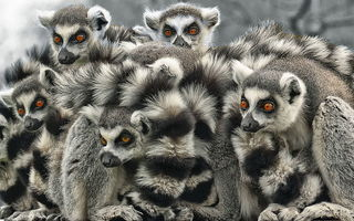 Обои lemur, white, black