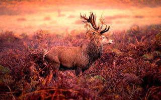 Обои Red deer stag, олень, рога