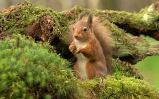 Картинка red, scotland, tuffty, squirrel, gb, белка