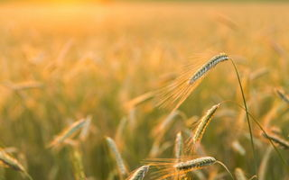Обои Golden light, Barley Field, природа