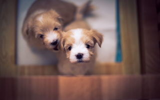 Обои bichon, puppy, bokeh, cute, dog