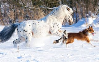 Картинка white, cold, dog, snow, running, horse