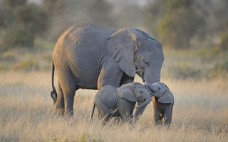 Обои Amboseli National Park, слоны, африка, Twin Baby Elephants