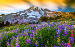Обои Mount Rainier National Park, вершина, гора, Маунт-Рейнир, природа, люпин, США, цветы, вулкан, Вашингтон, трава