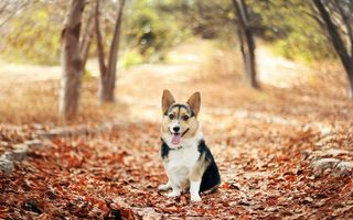 Обои листва, Вельш Корги, Осень, парк, Welsh Corgi