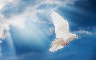 Обои dove, sky, небо, птица, pigeon, белый голубь, peace, свет, лучи солнца, мир, sunrays, white