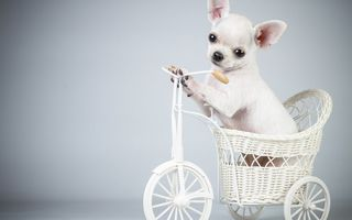 Обои собака, велосипед, the dog, puppy, Bicycle, щенок