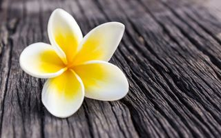 Картинка цветок, plumeria, wood, white, flower, плюмерия, лепестки