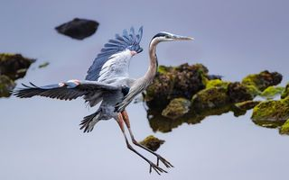 Картинка цапля, птица, Вода, Blue, Heron, Great, Крылья, Цапли, Птицы, воде, Животные, животное