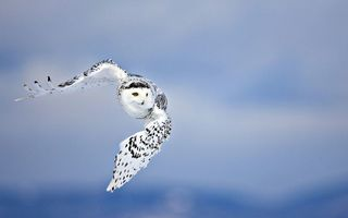 Картинка Owl, flying