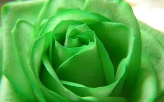 Обои green, beautiful nature, зелёная, flower, роза, Rose, цветы