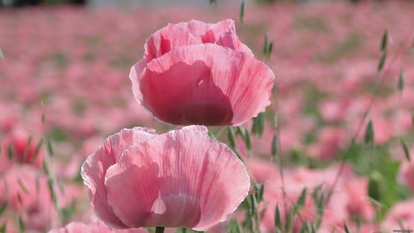 цветы полевые розовые бесплатно