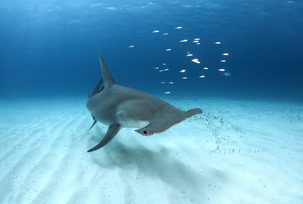 Обои Bahamas, Great Hammerhead Shark, Bimini