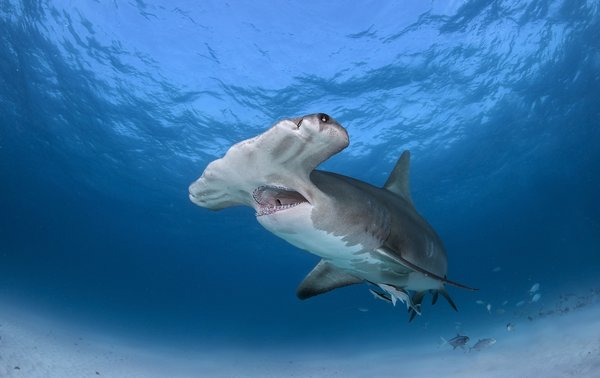 Обои Great Hammerhead Shark, море, рыба