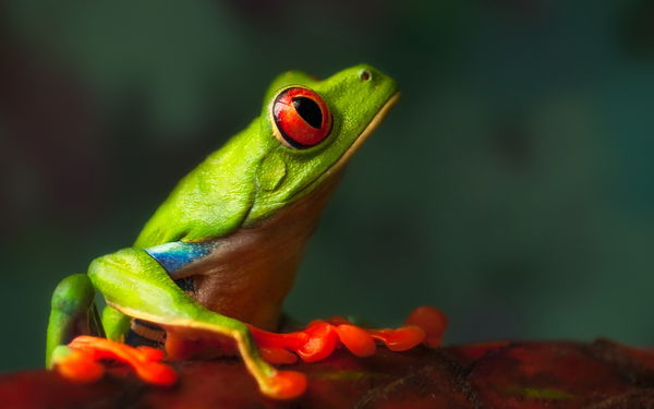 Обои Profile of a Friend, Macro, Nature, Frog