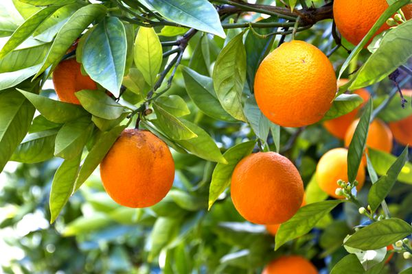Обои oranges, leaves, фрукты, fruits, апельсины